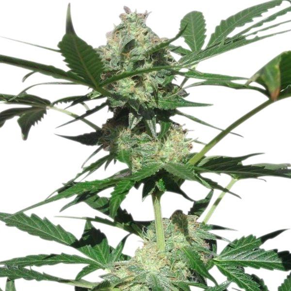 Cannabis Seed Northern Lights